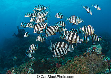 A small school of zebra fish - Black and white striped fish...