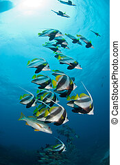 A school of tropical striped fish - A shoal of longfin...