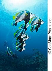 A school of longfin bannerfish - A shoal of longfin...