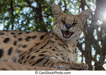 A serval smiling in the shade - A serval smiling with a...