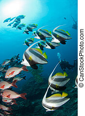 Two species of tropical fish - A shoal of angle fish...