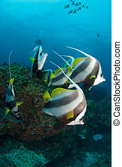 A shoal of tropical fish - A small school of longfin...