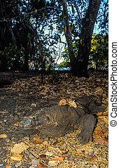A hidden predator - A komdo dragon camouflaged into the...