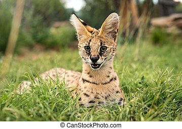 A adorable serval cat - A young serval looking directly...