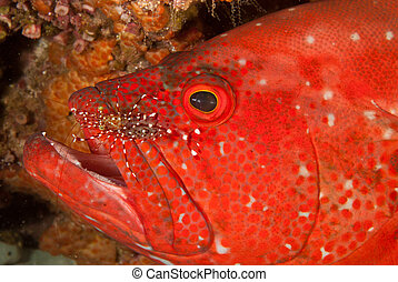 Cleaning station, Sodwana - A tomato rock cod having its...