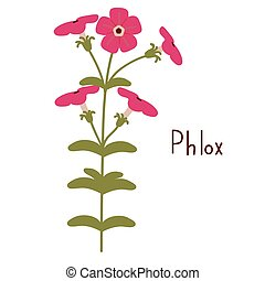 Phlox vector illustration - Phlox drummondii vector...