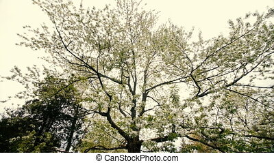 beautiful big tree with white flowers,slow motion -...