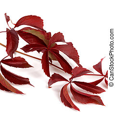 Branch of dark red autumn grapes leaves Parthenocissus...