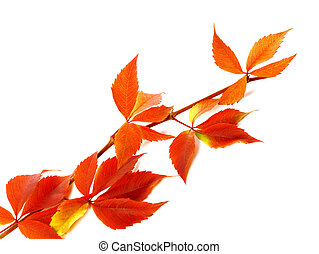 Red autum branch of grapes leaves Parthenocissus...