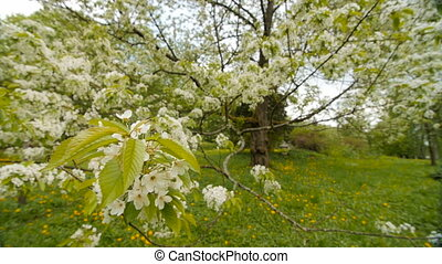 beautiful big tree with white flowers,slow motion