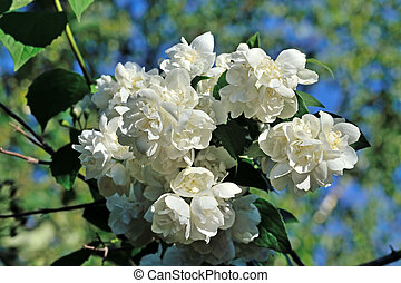Flowered mock-orange, lat. Philadelphus - Flowered...