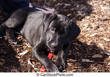 lab puppy laying - black lab puppy laying down in a park...