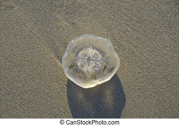Coast beach sand surface, Jellyfish in the natural environment.