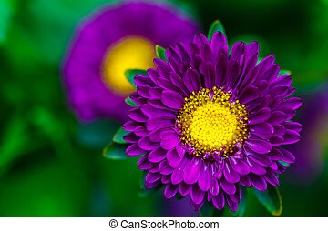 Aster Autumn Flowers close up.