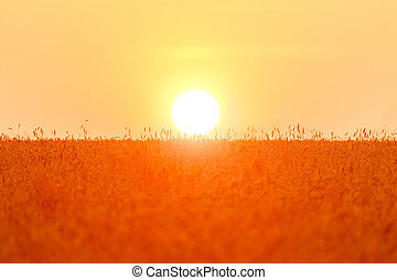A large solar disk sits in a wheat field. Fresh crop of rye. Wheat field under bright sunlight.