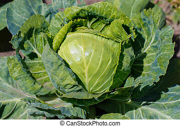 Big cabbage in the garden,fresh kitchen garden cabbage