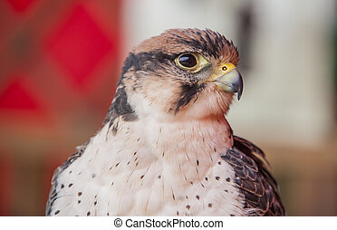 Lanner falcon perched