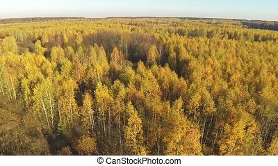 Aerial view of an autumn yellow forest with a bird's eye view