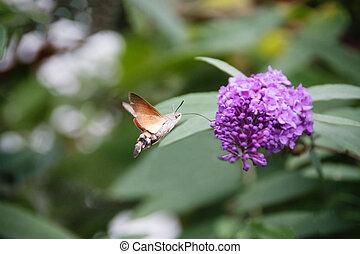 hawk-moth, Colibrí