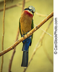 Bee eater (Merops Apiaster) perched on a branch in a tree