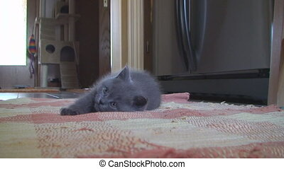 little kitten British breed looks up while lying on the...