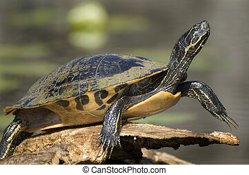 Turtle closeup - Turtle sunning on log - pond slider