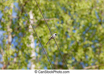 Wagtail in spring - Wagtail on a wire against green spring...