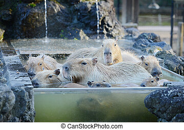 capybara onsen - capybara family in hot springs onsen
