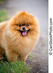 Portrait of cute pomeranian spitz dog