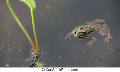 Frog in the River near the Lilies - Green frog sitting in...