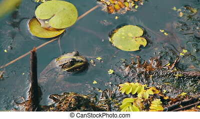 Green Frog Sitting in the River near the Lilies - Green frog...