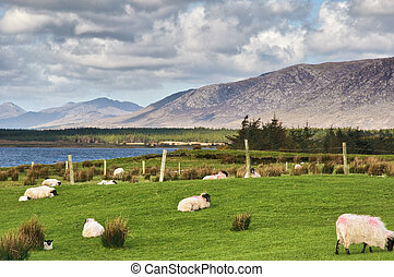 sheep on a farm field in remote connemara, west ireland -...