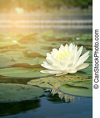 white lotus with burst light - white lotus in the water with...