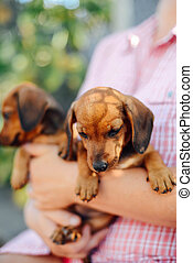 Dachshund puppy. Woman at the park holding his dog. Woman...