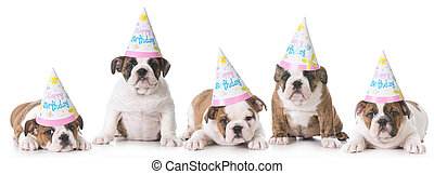 birthday puppy litter