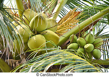 Coconuts growing on palm