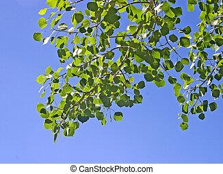 Quaking Aspen Branch - Branch of Quaking Aspen, Populus...