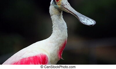 Closeup Of Roseate Spoonbill