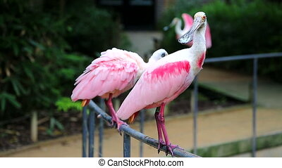 Tree Roseate Spoonbill Standing On a Fence - Tree Beautiful...