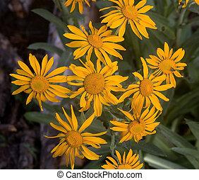 Meadow Arnica flowers