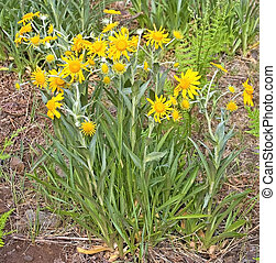 Meadow Arnica flowers and plant