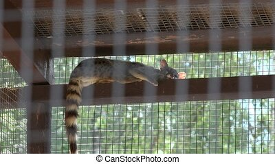 common genet genetta animal lie high on zoo cage. Zoom out....