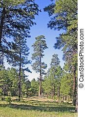Ponderosa Pine Tree - Ponderosa Pine, Pinus ponderosa, on...