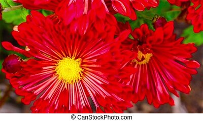 Bright red flowers in the garden