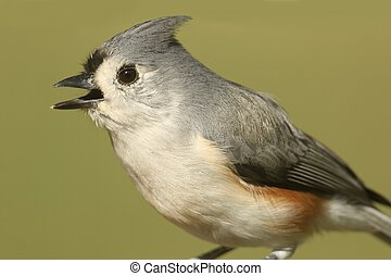Tufted Titmouse (baeolophus bicolor) close-up with a green...