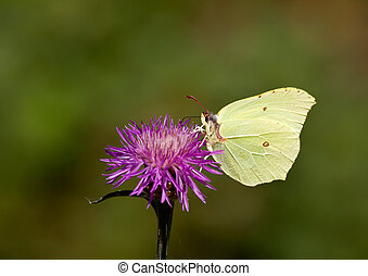 Butterfly. Common brimstone.