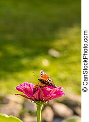Color butterfly sits on pink bloom - Vertical photo of color...