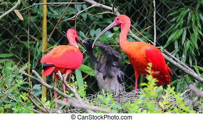 Couple Of Scarlet Ibis Birds Feeding Babies In The Nest