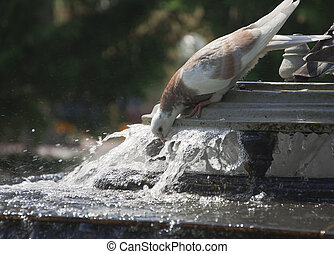 pigeon drinks from city fountain - potable water of pigeon...
