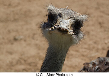 ostrich head closeup, funny face of a strauss - a ostrich...
